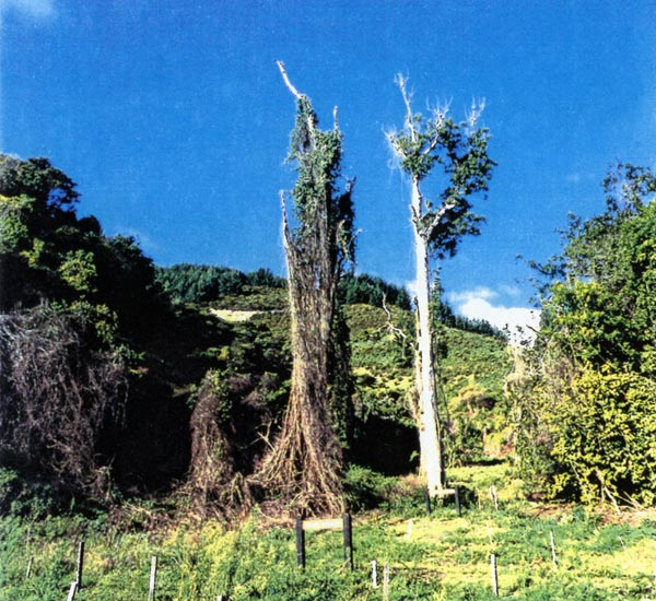 Above Native forest reserve in the upper Marsden Valley in the 1980s was dying. Weeds were strangling mature trees and the understorey was all but gone.